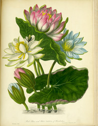 Red, blue and white lotus, of Hindostan